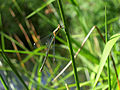 2012-07-17 18-21-57-Chalcolestes viridis.jpg