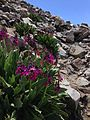 2013-07-14 13 18 44 Parry's primrose and sky pilot along the Wheeler Peak Summit Trail in Great Basin National Park, Nevada.jpg