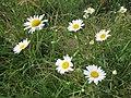 20130712Leucanthemum vulgare2.jpg