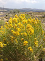 2014-07-19 15 00 36 Rabbitbrush blooming in Elko, Nevada.JPG