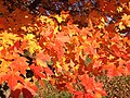 2014-11-02 15 07 47 Sugar Maple foliage during autumn along Parkway Avenue in Ewing, New Jersey.jpg