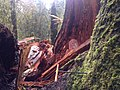 2014. Sitka spruce tree failure from Phaeolus schweinitzii on the Hoh, Olympic National Park, Washington. (24751781987).jpg