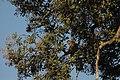 2014 Borneo Luyten-De-Hauwere-Proboscis monkey-11.jpg