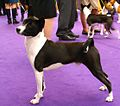 2014 Westminster Kennel Club Dog Show (12451625145).jpg