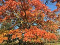 2015-11-15 14 44 00 Scarlet Oak foliage in autumn along Interstate 95 in Hopewell Township, Mercer County, New Jersey.jpg