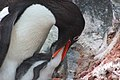 2015-12-30 152438 gentoo feeds his chick IMG 1183.jpg