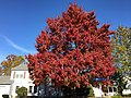 2016-11-15 11 23 52 Red Maple displaying autumn foliage along Tranquility Lane at Tranquility Court in the Franklin Farm section of Oak Hill, Fairfax County, Virginia.jpg
