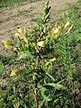 20170729Oenothera biennis1.jpg