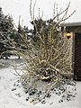 2018-03-21 08 32 08 A snow-covered forsythia along Tranquility Court in the Franklin Farm section of Oak Hill, Fairfax County, Virginia.jpg