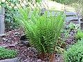 2018-05-13 (103) Unidentified Pteridophyta (fern) at Bichlhäusl in Frankenfels, Austria.jpg