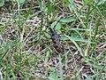 2018-05-13 (223) Acanthocinini, subspecies of Cerambycidae (Longhorn Beetle) at Bichlhäusl in Frankenfels, Austria.jpg