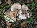 20180930 Fungi in Leeuwenhorstbos - Populiermelkzwam (Lactarius controversus?).jpg