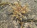 20190607Arenaria serpyllifolia1.jpg