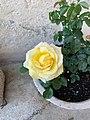 """2020-05-09 Rose """"yellow"""".jpg"""