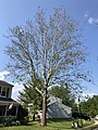 2020-06-04 16 44 33 An American sycamore with a severe infection of Sycamore anthracnose along Tranquility Lane in the Franklin Farm section of Oak Hill, Fairfax County, Virginia.jpg
