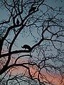 3 Pfauen im Schlafbaum.JPG