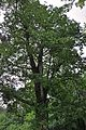 46-253-5010 Frants-Iosyf Oak Tree RB.jpg
