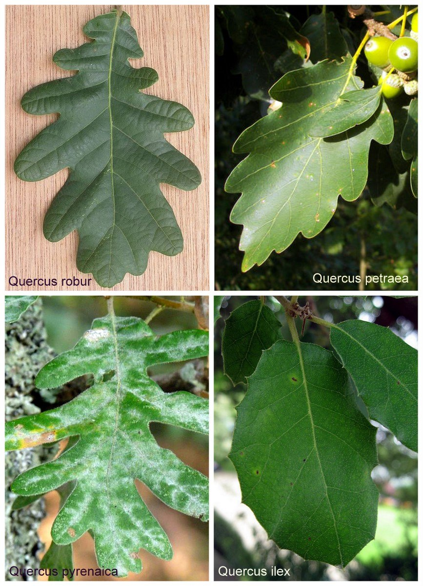 4 Quercus leaves