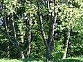 617683 A 683 Krakow Krzesławice Wankowicza 25 park w zespole dworsko parkowym 36.JPG