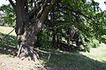 80-382-5018 Kozlowsky Oak DSC 3319.jpg