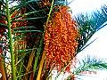 A@a palm Trees Deftera village nicosia cy. - panoramio (8).jpg