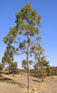 <i>Acacia implexa</i> Species of plant
