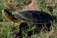 A western painted turtle facing away from the viewer on top of a dirt-patch overlooking water.