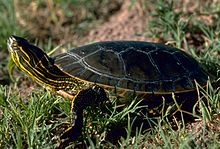 A western painted turtle standing in grass, with neck extended