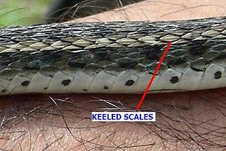 Buff striped keelback - Keeled scales