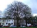 AZ0114 Ulmus x hollandica. Hermitage Place, Edinburgh. (00).jpg