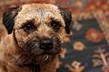 A Border terrier.jpg