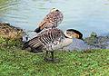 A Neme At The London Wetland Centre - Barnes..jpg