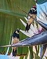 A Pair of Acorn Woodpeckers.jpg
