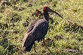 A Red Naped IBIS (49590296197).jpg