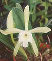 A and B Larsen orchids - Brassavola glauca 900-22z.jpg