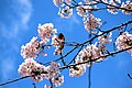 A bright orange and black color Baltimore Oriole is enjoying the cherry blossom at High Park, Toronto, Ontario, Canada.jpg