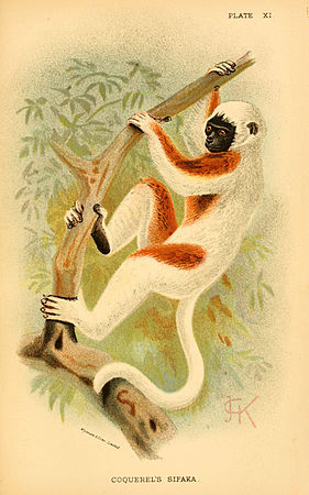 A hand-book to the primates (Plate XI) (6029124104).jpg