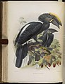 A monograph of the Bucerotidæ, or family of the hornbills (Plate XXVI) (7090228109).jpg