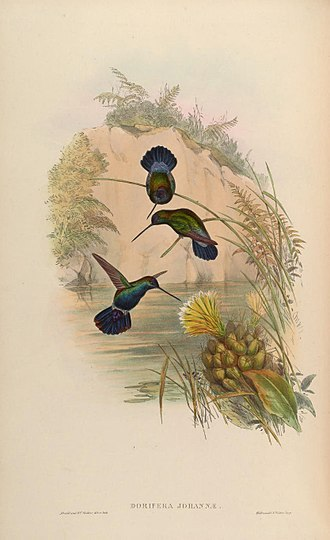 Blue-fronted lancebill - Image: A monograph of the Trochilidæ, or family of humming birds (Plate 87) (7175953308)