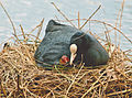 A mother coot with her baby in a nest.jpg