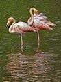 A pair of pink flamingos (6064652564).jpg