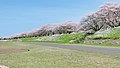 A row of cherry blossom trees on the right bank of the Ono River 20210401 1.jpg