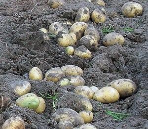 Potatis under skörd