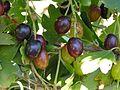 Ab plant 1315 (Ribes aureum).jpg