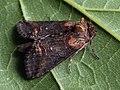 Abrostola triplasia - Dark Spectacle - Крапивная совка бурая (40390964174).jpg