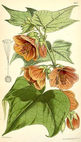 Abutilon darwinii Hook.f. Bot. Mag. 5917. 1871