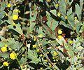 Acacia glaucoptera.jpg