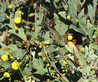 <i>Acacia glaucoptera</i> Species of legume