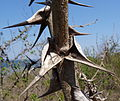 Acacia latispina - spine shape (9692788832).jpg