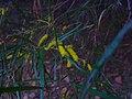 Acacia olgana1.jpg